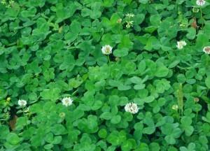 clover lawn