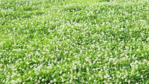 clover problem